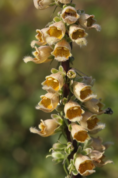 Digitalis stewartii