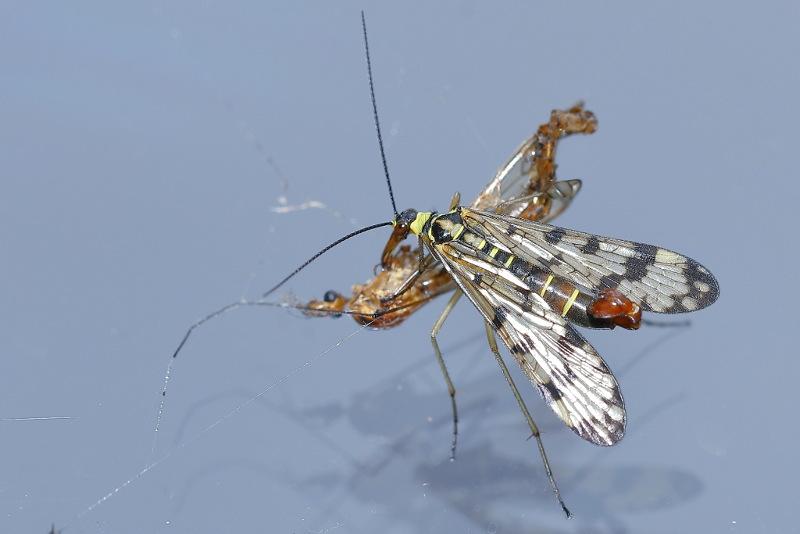 Mecoptera Boreidae En Panorpidae Sneeuwvlo En Schorpioenvliegen