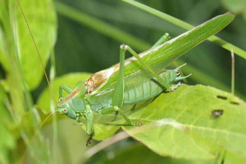 Orthoptera tettigoniidae sabelsprinkhanen grote groene sabelsprinkhaan tettigonia viridissima male altavistaventures Image collections