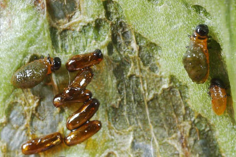 wormpje larvae zwart uit de grond